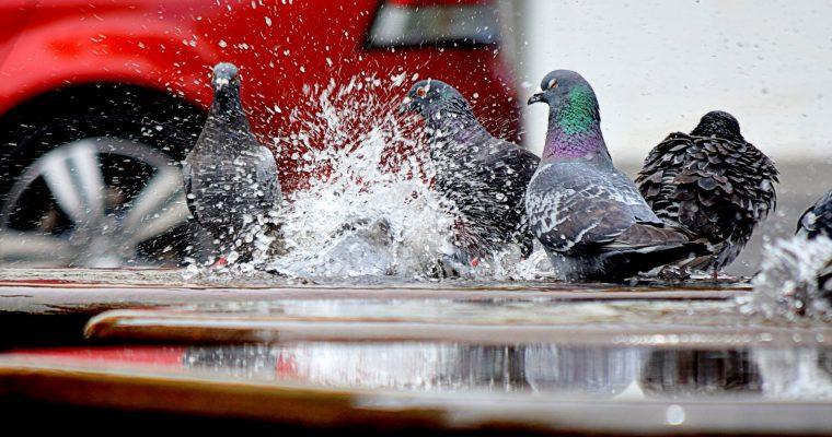 Domnul cu porumbeii